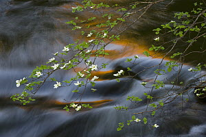 Mountain Dogwood (Cornus nuttallii) flowering over river, Merced River, Yosemite National Park, California  -  Jeff Foott