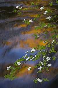 Mountain Dogwood (Cornus nuttallii) flowering over river reflection, Merced River, Yosemite National Park, California  -  Jeff Foott