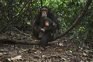 Eastern Chimpanzee (Pan troglodytes schweinfurthii) female, thirteen years old, playing with her two month old baby daughter, Gombe National Park, Tanzania - Anup Shah