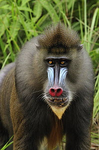 Mandrill (Mandrillus sphinx) male, Lekedi Natural Preserve, Gabon - Thomas Marent