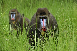 Mandrill (Mandrillus sphinx) males in tall grass, Lekedi Natural Preserve, Gabon  -  Thomas Marent