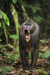 Mandrill (Mandrillus sphinx) male in defensive posture, Lekedi Natural Preserve, Gabon - Thomas Marent