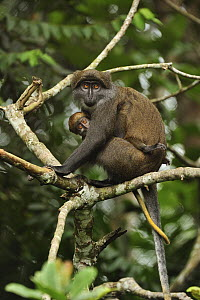 Sun-tailed Guenon (Cercopithecus solatus) mother with baby, Franceville, Gabon - Thomas Marent