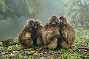 Gelada Baboon (Theropithecus gelada) group huddling for warmth, Simien Mountains National Park, Ethiopia  -  Thomas Marent