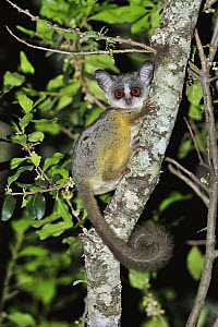 Lesser Bush Baby (Galago senegalensis) at night, Mount Kenya National Park, Kenya  -  Thomas Marent