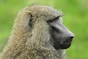 Olive Baboon (Papio anubis), Sweetwaters Game Reserve, Kenya - Thomas Marent