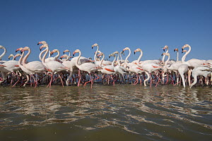 Greater Flamingo (Phoenicopterus ruber) flock wading, France  -  Roland Seitre