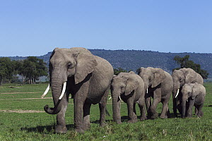 African Elephant (Loxodonta africana) herd walking through grassland, Masai Mara, Kenya - Anup Shah