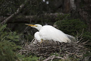 Great Egret (Ardea alba) on nest, Sonoma County, California  -  Suzi Eszterhas