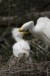 Great Egret (Ardea alba) parent feeding three week old chick in nest, Sonoma County, California  -  Suzi Eszterhas