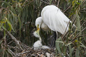 Great Egret (Ardea alba) parent feeding one week old chick in nest, Sonoma County, California  -  Suzi Eszterhas