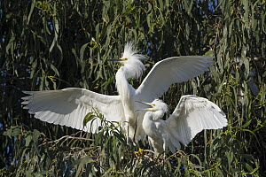 Snowy Egret (Egretta thula) four week old chick begging for food, Sonoma County, California - Suzi Eszterhas