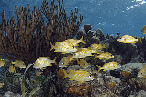 French Grunt (Haemulon flavolineatum) school in coral reef, Lighthouse Reef, Belize - Pete Oxford