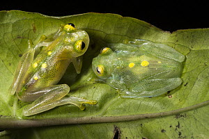 Glass Frog (Hyalinobatrachium aureoguttatum) pair, native to South America  -  Pete Oxford