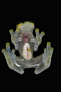 Glass Frog (Hyalinobatrachium aureoguttatum) underside showing internal organs, native to South America  -  Pete Oxford