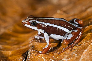 Anthony's Poison Arrow Frog (Epipedobates anthonyi), native to South America  -  Pete Oxford