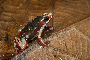 Anthony's Poison Arrow Frog (Epipedobates anthonyi) male carrying tadpoles, native to South America  -  Pete Oxford