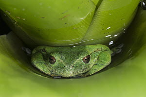 Marsupial Frog (Gastrotheca orophylax) hiding in bromeliad, native to South America  -  Pete Oxford