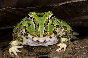 Pacific Horned Frog (Ceratophrys stolzmanni), native to South America  -  Pete Oxford