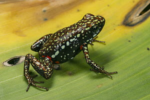 Phantasmal Poison Dart Frog (Epipedobates tricolor), native to South America  -  Pete Oxford