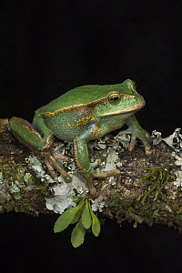 Marsupial Frog (Gastrotheca orophylax), native to South America  -  Pete Oxford