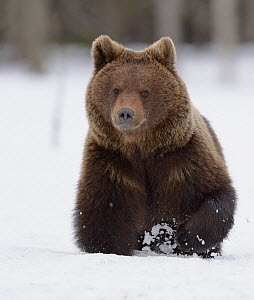 Brown Bear (Ursus arctos) running through snow, Finland  -  Winfried Wisniewski