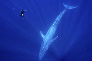Blue Whale (Balaenoptera musculus) and snorkeler, Baja California, Mexico - Norbert Wu
