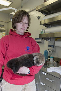 Sea Otter (Enhydra lutris) stranding supervisor, Halley Werner, carrying three week old orphaned pup, Alaska SeaLife Center, Seward, Alaska - Suzi Eszterhas