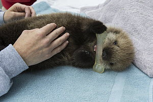 Sea Otter (Enhydra lutris) three week old orphaned pup playing with toy, Alaska SeaLife Center, Seward, Alaska - Suzi Eszterhas