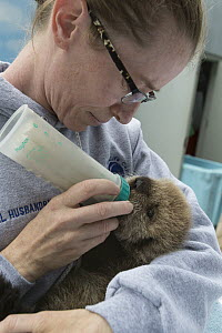 Sea Otter (Enhydra lutris) caretaker, Deanna Troeauga, bottle-feeding three week old orphaned pup, Alaska SeaLife Center, Seward, Alaska - Suzi Eszterhas