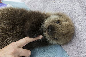 Sea Otter (Enhydra lutris) three week old orphaned pup holding caretaker finger, Alaska SeaLife Center, Seward, Alaska - Suzi Eszterhas