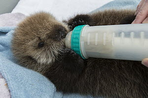 Sea Otter (Enhydra lutris) three week old orphaned pup being bottle-fed, Alaska SeaLife Center, Seward, Alaska - Suzi Eszterhas