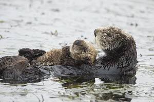 Sea Otter (Enhydra lutris) mother and three week old pup, Monterey Bay, California  -  Suzi Eszterhas