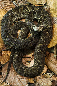 Fer-de-lance (Bothrops asper), native to South America  -  Pete Oxford