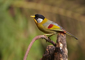 Silver-eared Mesia (Leiothrix argentauris) male, Gaoligongshan National Nature Reserve, Yunnan Province, China  -  Martin Willis