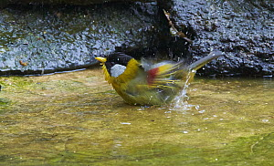 Silver-eared Mesia (Leiothrix argentauris) bathing in pool, Gaoligongshan National Nature Reserve, Yunnan Province, China  -  Martin Willis