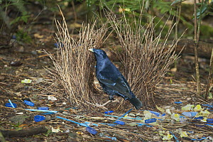 Satin Bowerbird (Ptilonorhynchus violaceus) male in bower decorated with blue objects and yellow flowers, Lamington National Park, Queensland, Australia  -  Kevin Schafer