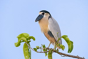 Boat-billed Heron (Cochlearius cochlearius), Nayarit, Mexico  -  Rick Bowers/ BIA