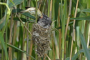 Common Cuckoo (Cuculus canorus) chick being fed by Eurasian Reed-Warbler (Acrocephalus scirpaceus), Saxony-Anhalt, Germany  -  Volker Lautenbach/ BIA