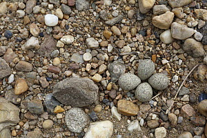 Little Ringed Plover (Charadrius dubius) eggs camouflaged in pebble nest, Saxony-Anhalt, Germany  -  Volker Lautenbach/ BIA