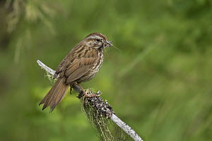 Song Sparrow (Melospiza melodia), British Columbia, Canada  -  Jess Findlay/ BIA
