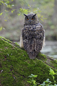 Eurasian Eagle-Owl (Bubo bubo) female with head turned around to the back, Germany  -  Reinhard Lodzig/ BIA
