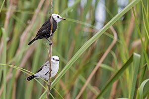 White-headed Marsh-Tyrant (Arundinicola leucocephala) pair, Atlantic Rainforest, Brazil  -  Claudio Gonzales Rodriguez/ BIA