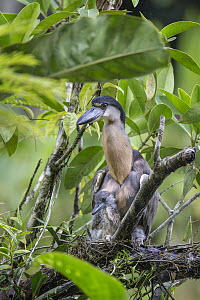 Boat-billed Heron (Cochlearius cochlearius) on nest with two week old chick, Costa Rica  -  Suzi Eszterhas