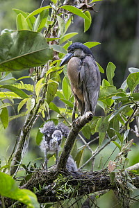 Boat-billed Heron (Cochlearius cochlearius) at nest with two week old chicks, Costa Rica  -  Suzi Eszterhas