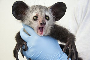 Aye-aye (Daubentonia madagascariensis) three month old baby, Duke Lemur Center, North Carolina - Suzi Eszterhas