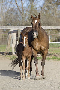 Domestic Horse (Equus caballus) mother and foal, Sonoma County, California  -  Suzi Eszterhas