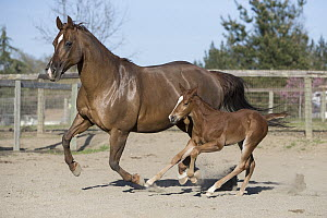 Domestic Horse (Equus caballus) mother and foal running, Sonoma County, California  -  Suzi Eszterhas