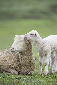 Domestic Sheep (Ovis aries) lamb nuzzling mother, Sonoma County, California  -  Suzi Eszterhas