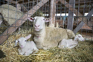 Domestic Sheep (Ovis aries) ewe and newborn lambs inside barn, Sonoma County, California  -  Suzi Eszterhas